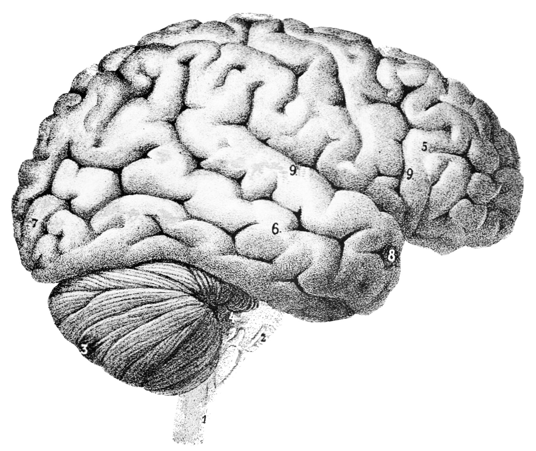 PSM_V46_D167_Outer_surface_of_the_human_brain